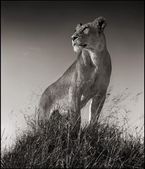 Nick Brandt: Lioness on Mound, Serengeti, 2012