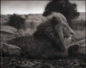 Nick Brandt: Lion on Burned Ground, Serengeti, 2012