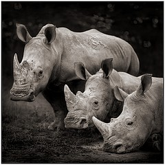 Nick Brandt: Three Rhinos, Nakuru, 2007