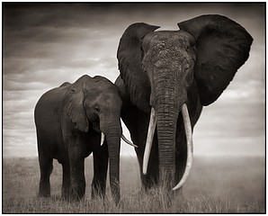 Nick Brandt: Elephant with Flaring Ears, Amboseli, 2007