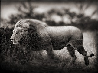 Nick Brandt: Windswept Lion, Serengeti, 2002