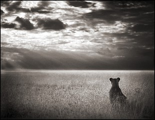 Nick Brandt: Lioness Looking Over Plains, Maasai Mara, 2004