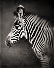 Nick Brandt: Zebra Portrait, Lewa Downs, 2002