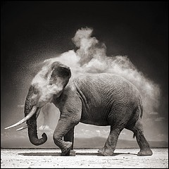 Nick Brandt: Elephant With Exploding Dust, Amboseli, 2004
