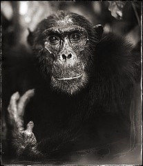 Nick Brandt: Portrait of old Chimpanzee II, Mahale, 2003