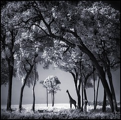Nick Brandt: Giraffe & Baby Under Trees, Maasai Mara, 2002