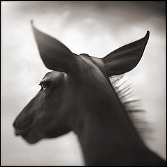 Nick Brandt: Portrait of Kudu, Laikipia, 2003