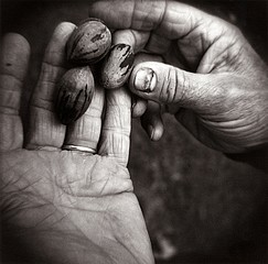 Perry Dilbeck: Pecans, 1998