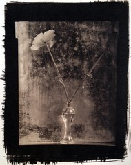 Photo Objects & Small Prints: James Pitts, Wild Poppy with Seed Pod in Girard's Vase