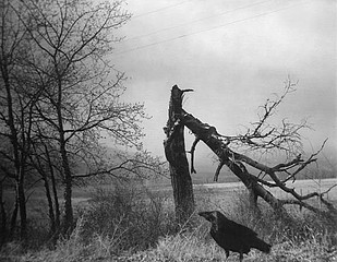 Raymond Meeks: Crow, fractured tree  , 2003