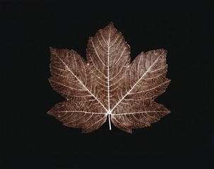 Susannah Hays: Red Maple Leaf, 2009