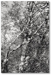 Robert Adams: Alders (One Picture Book No. 12)