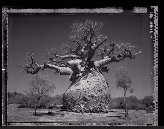 ELAINE LING: <em>Baobab: Tree of Generations</em>
