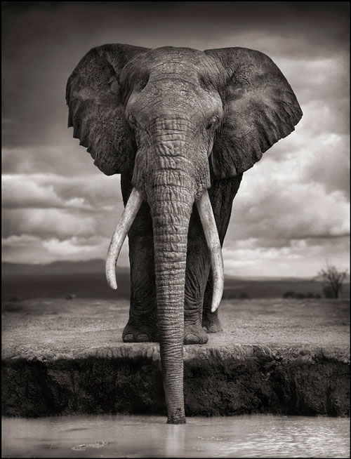 <b>Elephant Drinking, Amboseli, 2007. Killed by Poachers, 2009. © Nick Brandt</b>